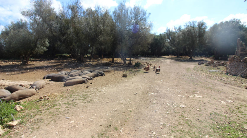 Old rustic finca to reforma with huge plot in Villafranca Majorca